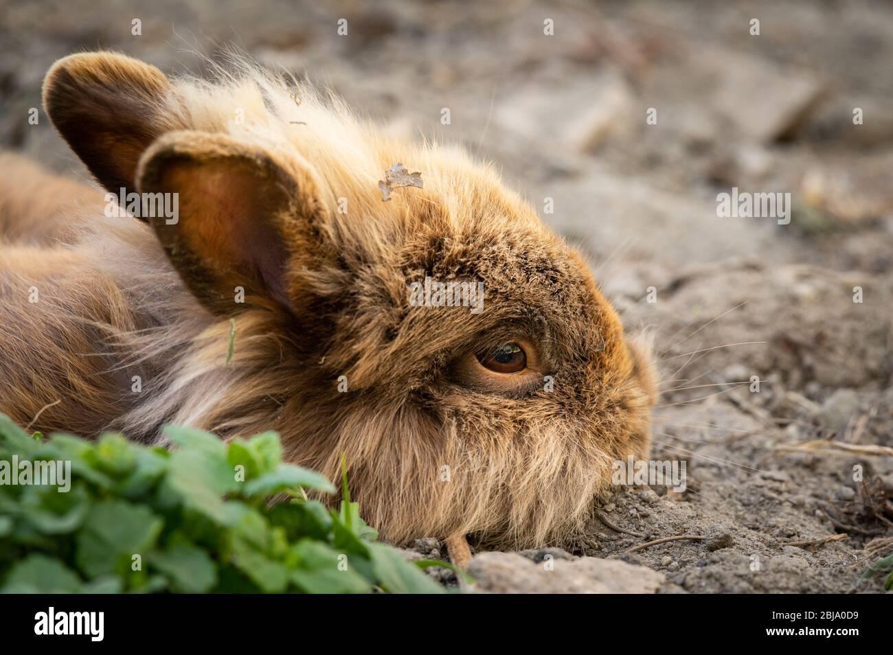 Ein braunes, niedliches Zwergkaninchen (Löwenkopf), das im Garten auf dem Boden ruht Stockfoto