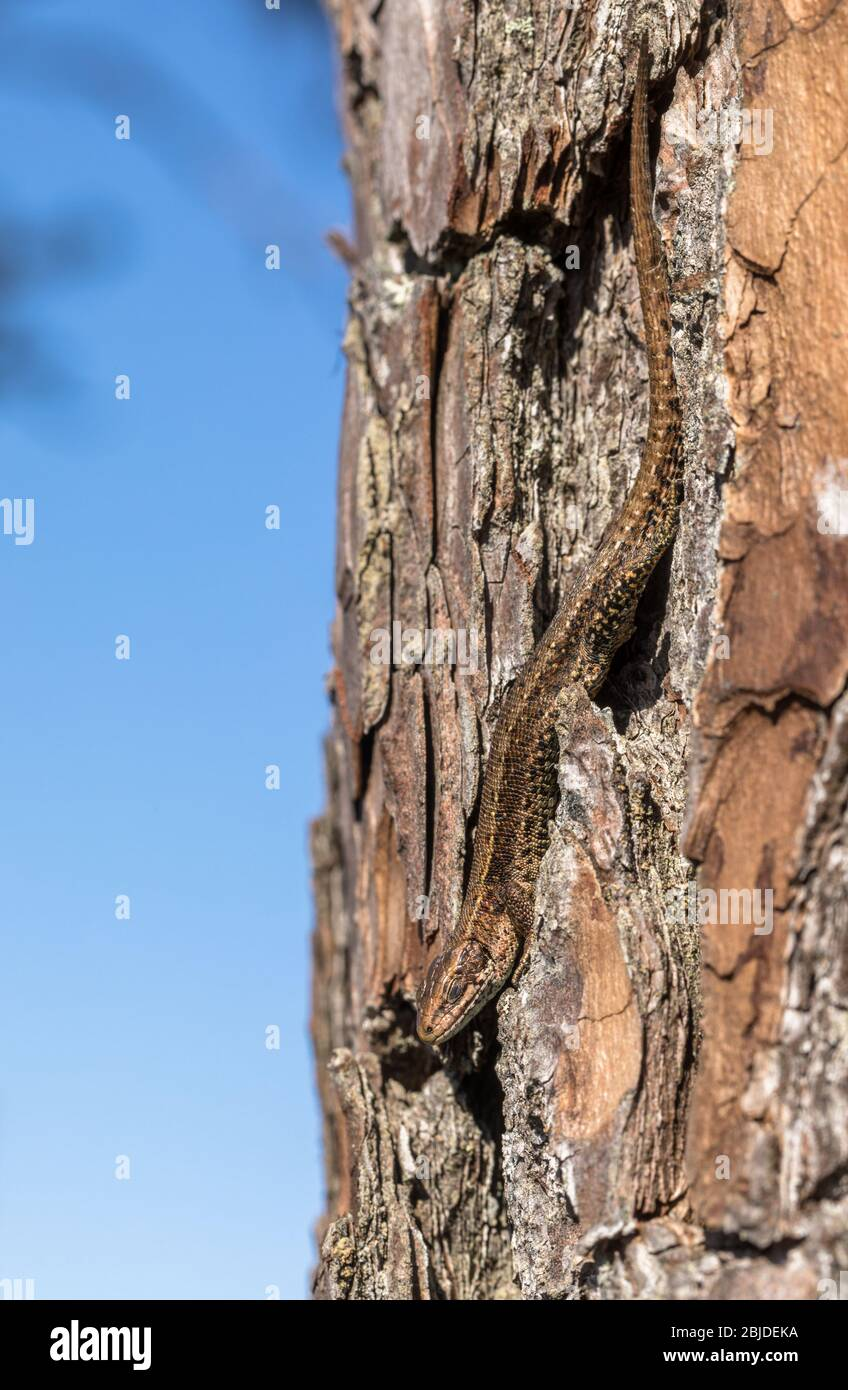 Viviparous Eidechse - Zootoca vivipara - sitzt kopfüber auf einer Kiefer - Pinus sylvestris Stockfoto