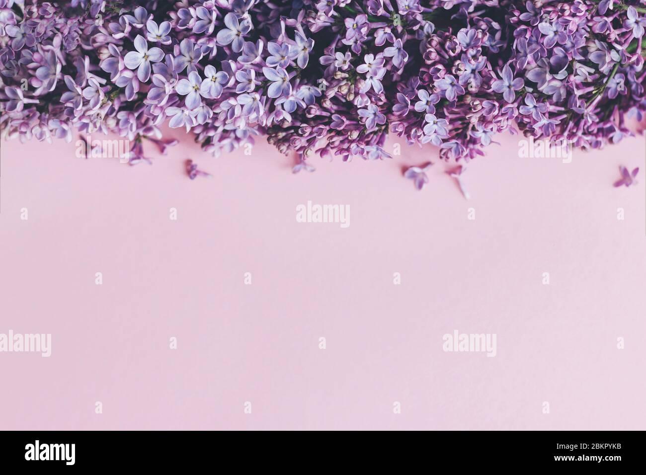 Lila Blüten auf rosa Papier, stilvolle Frühjahr flach legen. Blumengrußkarte mit Platz für tex. Lila lila lila Blumen Rand, schönes Bild. Alles gute Stockfoto