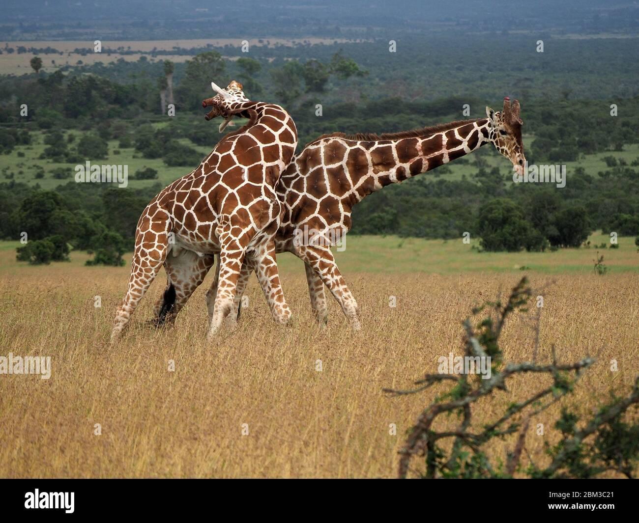 Zwei alte Bullen Reticulated Giraffen (Giraffa camelopardis reticulata) kämpfen um das Recht, sich mit Weibchen zu paaren -Ol Pejeta Conservancy,Laikipia,Kenia, Afrika Stockfoto