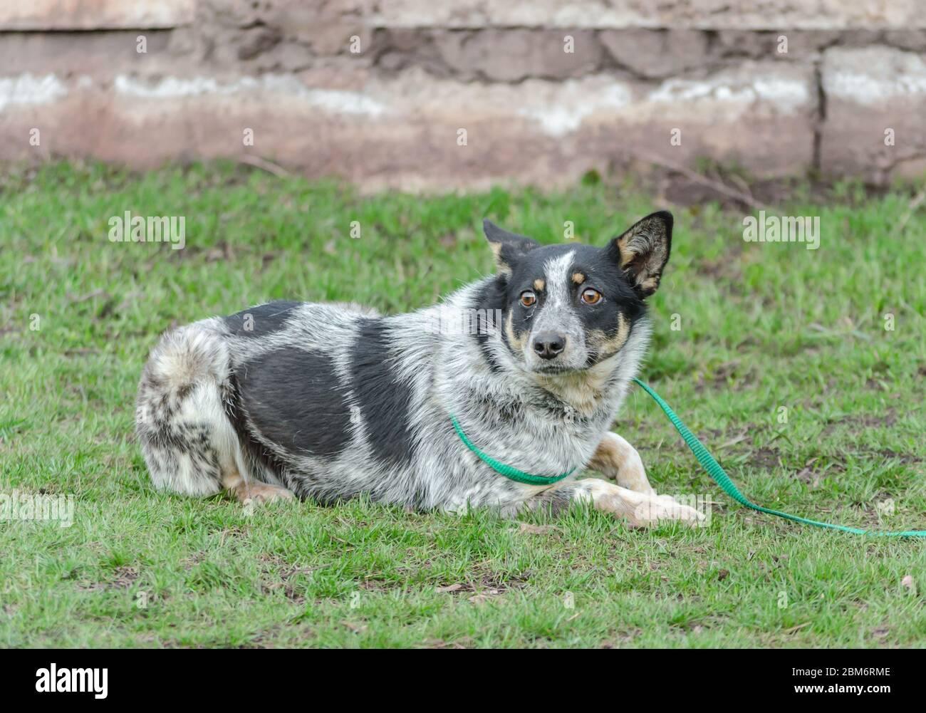 Erschrockener schwarz-weißer Hundeheißel an der Leine liegt auf grünem Gras Stockfoto
