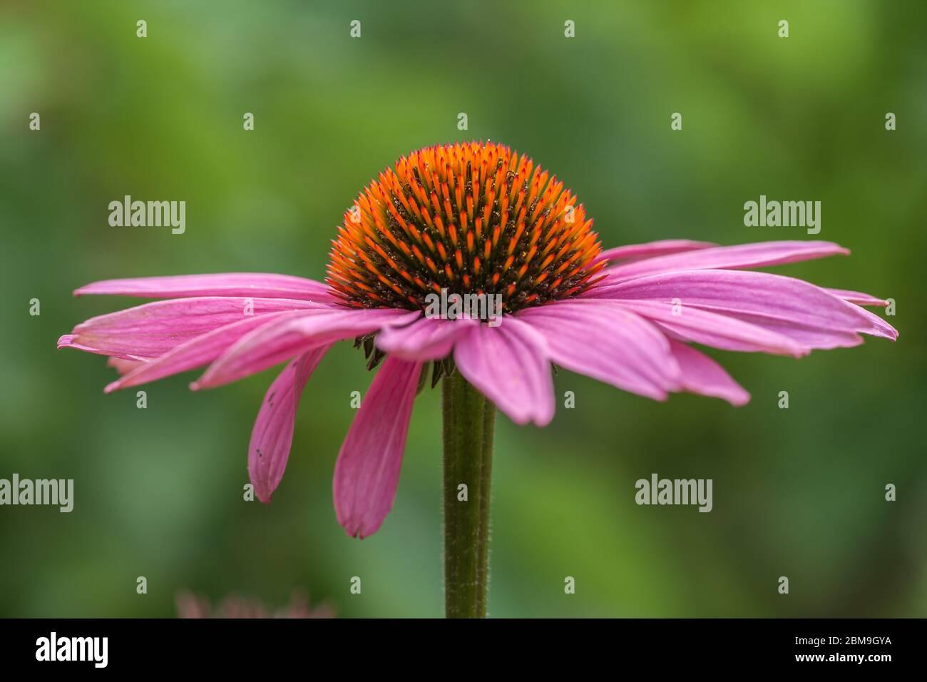 Blüte einer Koneblume (Echinacea) in rosa Stockfoto