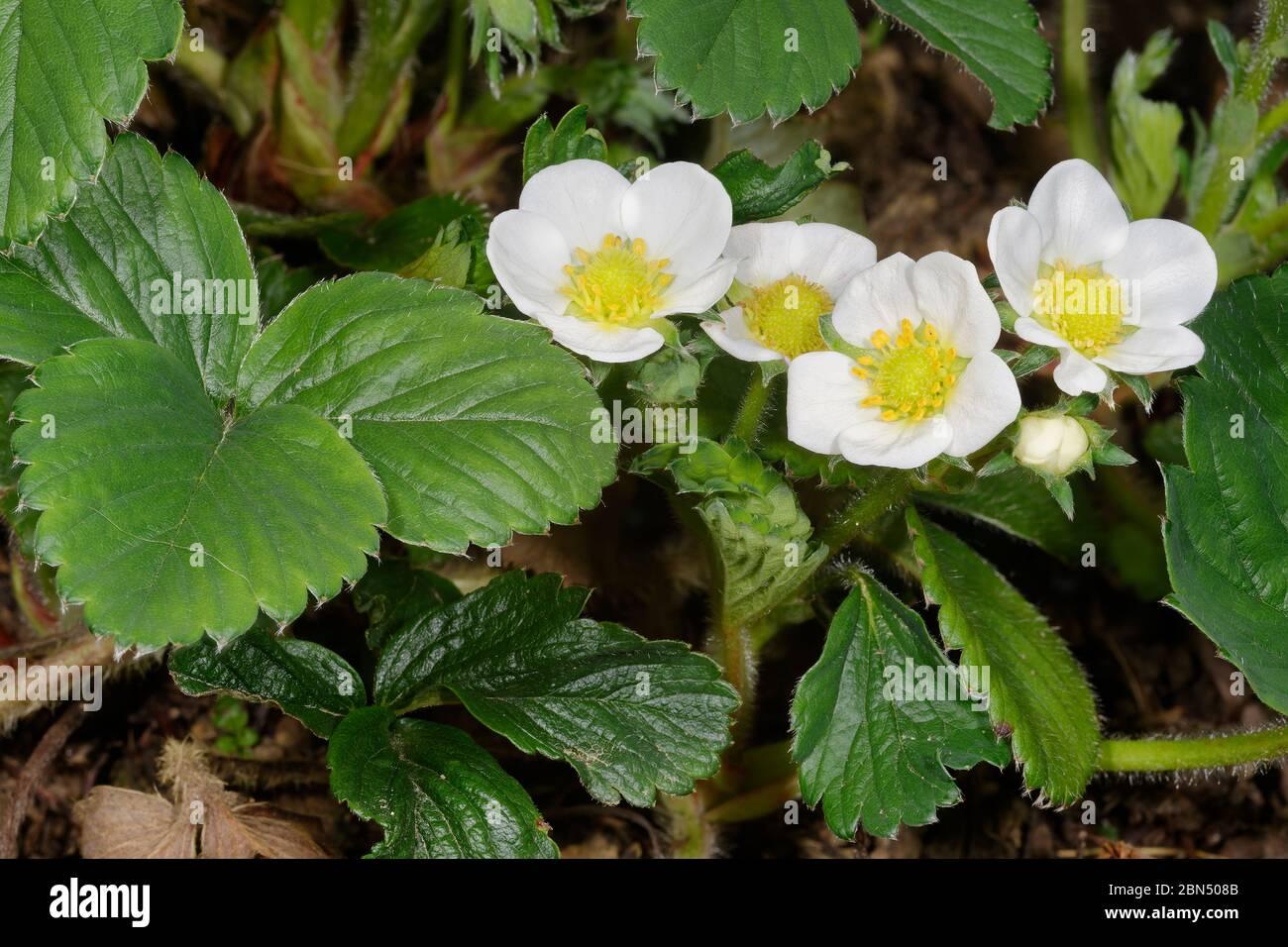 Garten Erdbeere - Fragaria X ananassa Blumen und Blätter Stockfoto