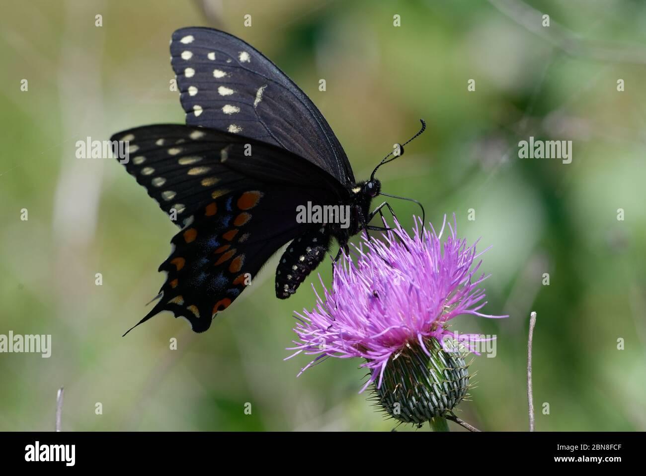 Schwarzer Schwalbenschwanz, Papilio polyxenes Stockfoto