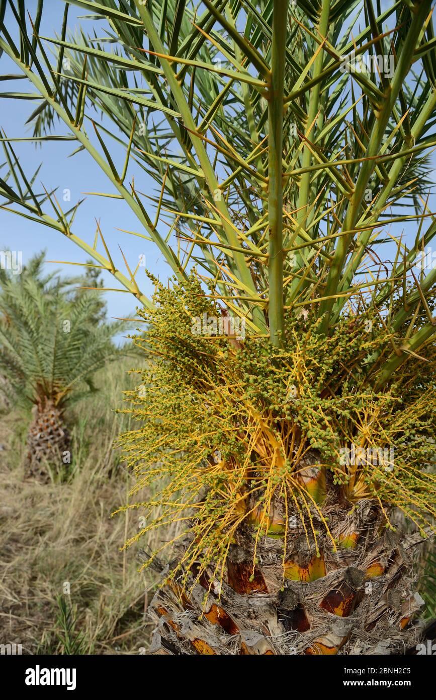 Junge kretische Dattelpalme (Phoenix theophrasti) mit sich entwickelnden Früchten, Xerokambos Dorf, Lasithi, Kreta, Griechenland, Mai 2013. Stockfoto