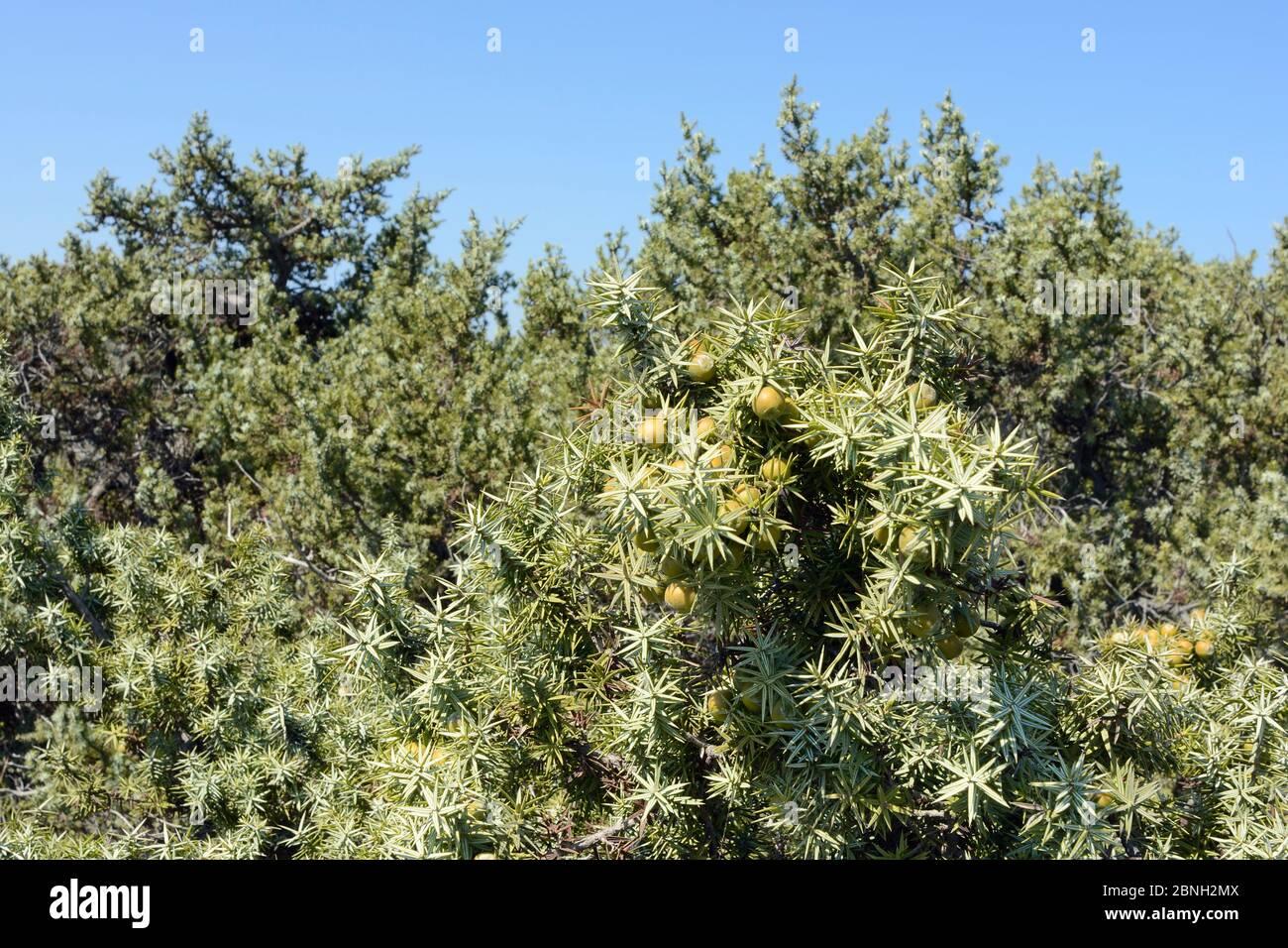 Großfruchtig-Wacholder (Juniperus macrocarpa), mit reifenden Samenkegel in Küstenmaquis scrubland, Kos, Dodekanes, Griechenland, August 2013. Stockfoto