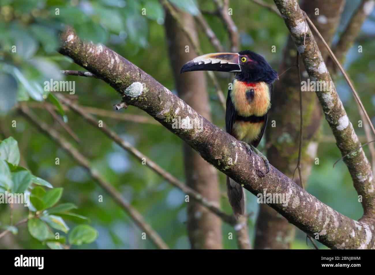 Halsbandaracari (Pteroglossus torquatus) Cordillera de Talamanca Gebirge, Karibische Pisten, Costa Rica. Stockfoto