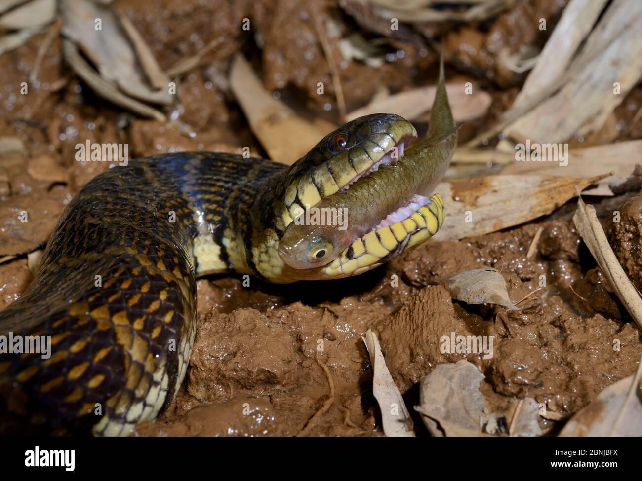 Bocourt's Schlammschlange (Subsessor bocourti) Fütterung von Fischen, gefangen, kommt in Südostasien. Stockfoto