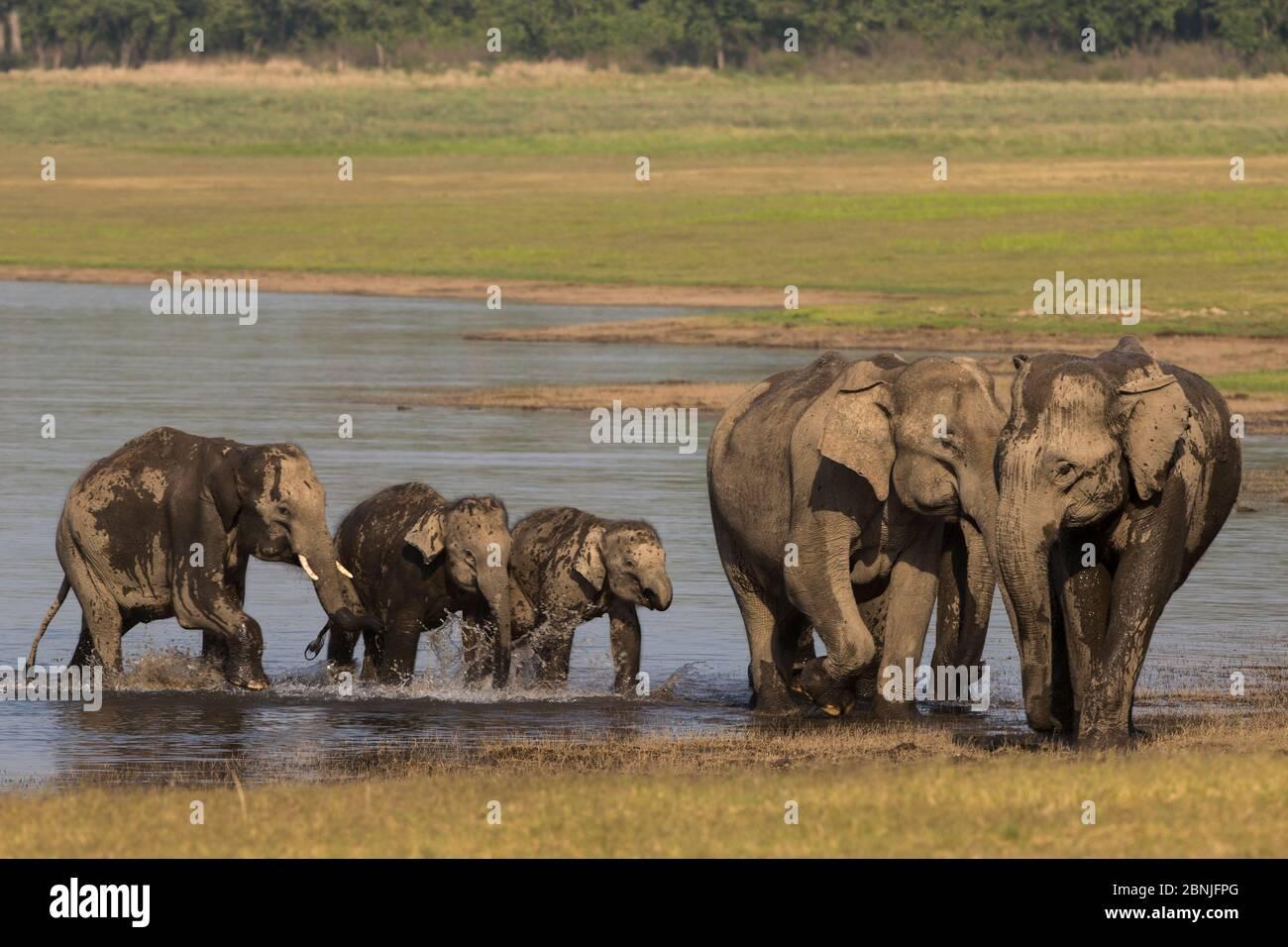 Asiatischer Elefant (Elephas maximus), Familienwasser und Baden, Jim Corbett Nationalpark, Indien. Stockfoto