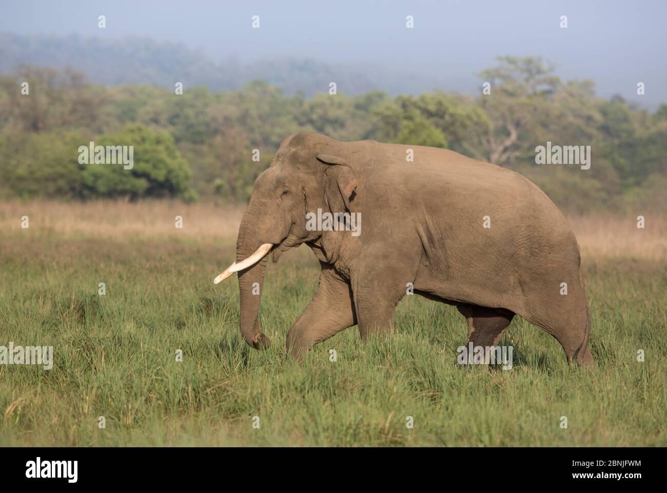 Asiatischer Elefant (Elephas maximus), Männchen mit Musth-Sekret aus der Schläfendrüse nahe dem Ohr sichtbar. Jim Corbett National Park, Indien. Stockfoto