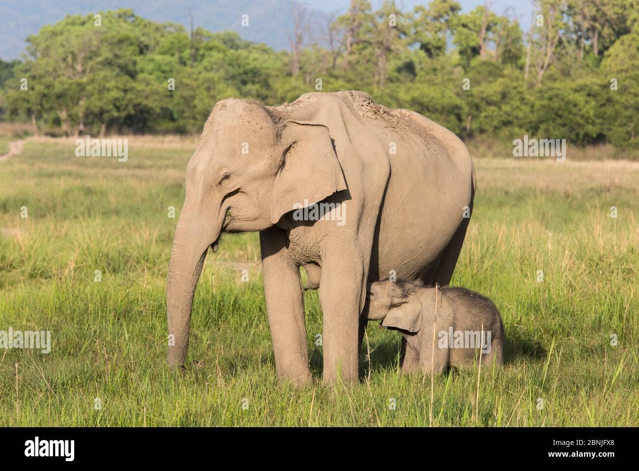 Asiatischer Elefant (Elephas maximus), Kalb säugt, während Mutter Gras füttert. Jim Corbett National Park, Indien. Stockfoto