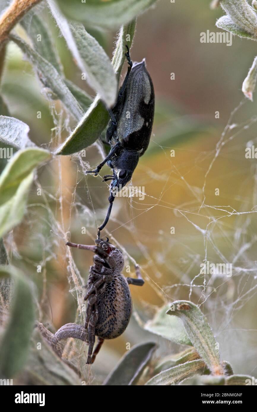 Kampf der Spinnen und eines Käfer (Curculionidae sp.), Nationalstraße 7, Ambositra, Madagaskar, November. Stockfoto