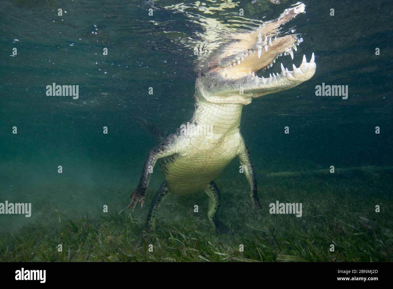 Amerikanisches Krokodil (Crocodylus acutus), das zum Atmen auftauchbar ist, Banco Chinchorro Biosphärenreservat, Karibik, Mexiko Stockfoto