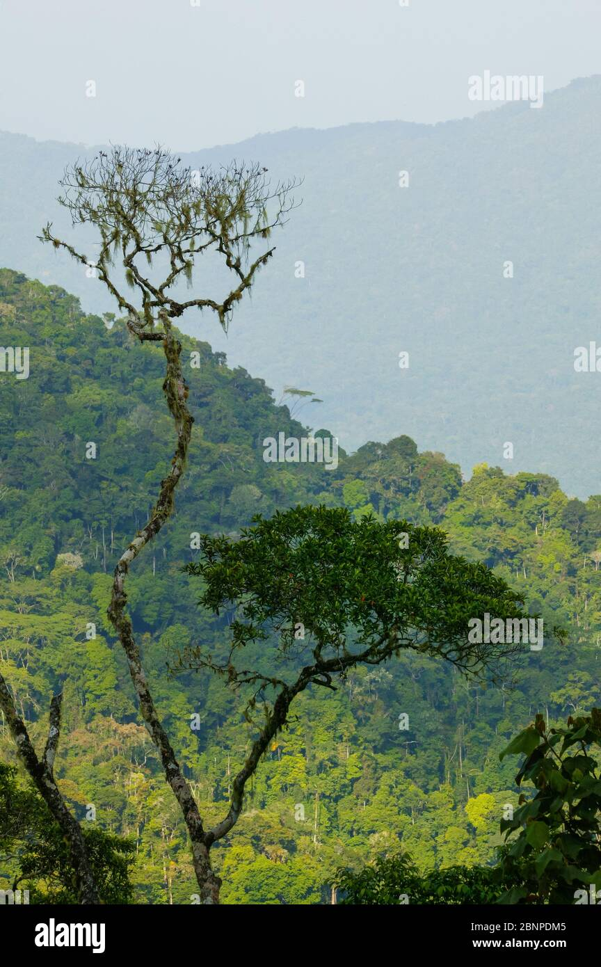 Schöne Regenwaldbäume am Cerro Pirre, Darien Nationalpark, Darien Provinz, Republik Panama. Stockfoto