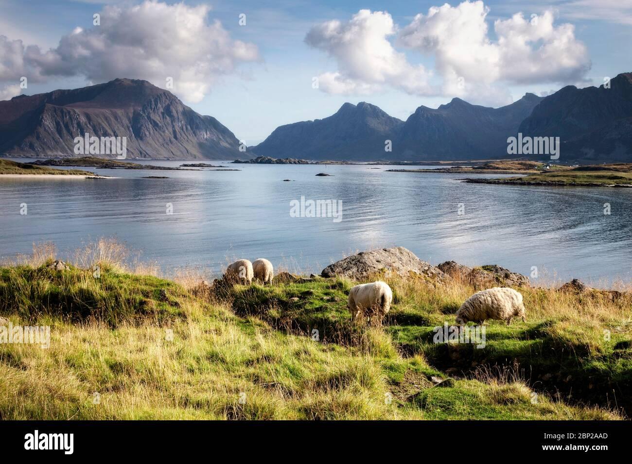Schafe weiden an der Nordküste von Moskenesoya, Lofoten-Inseln, Norwegen. Stockfoto