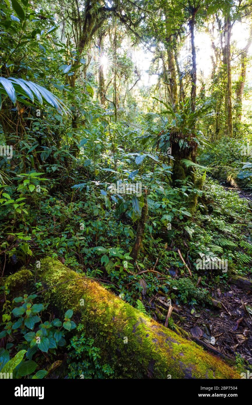 Üppige tropische Vegetation auf dem Wolkenwaldboden im Nationalpark La Amistad, Provinz Chiriqui, Republik Panama. Stockfoto