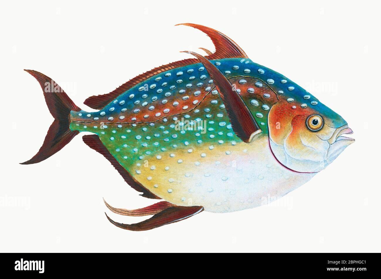 Opah (Lampris guttatus) Illustration aus der Naturgeschichte britischer Fische (1802) von Edward Donovan (1768-1837).jpg - 2BPHGC1 Stockfoto