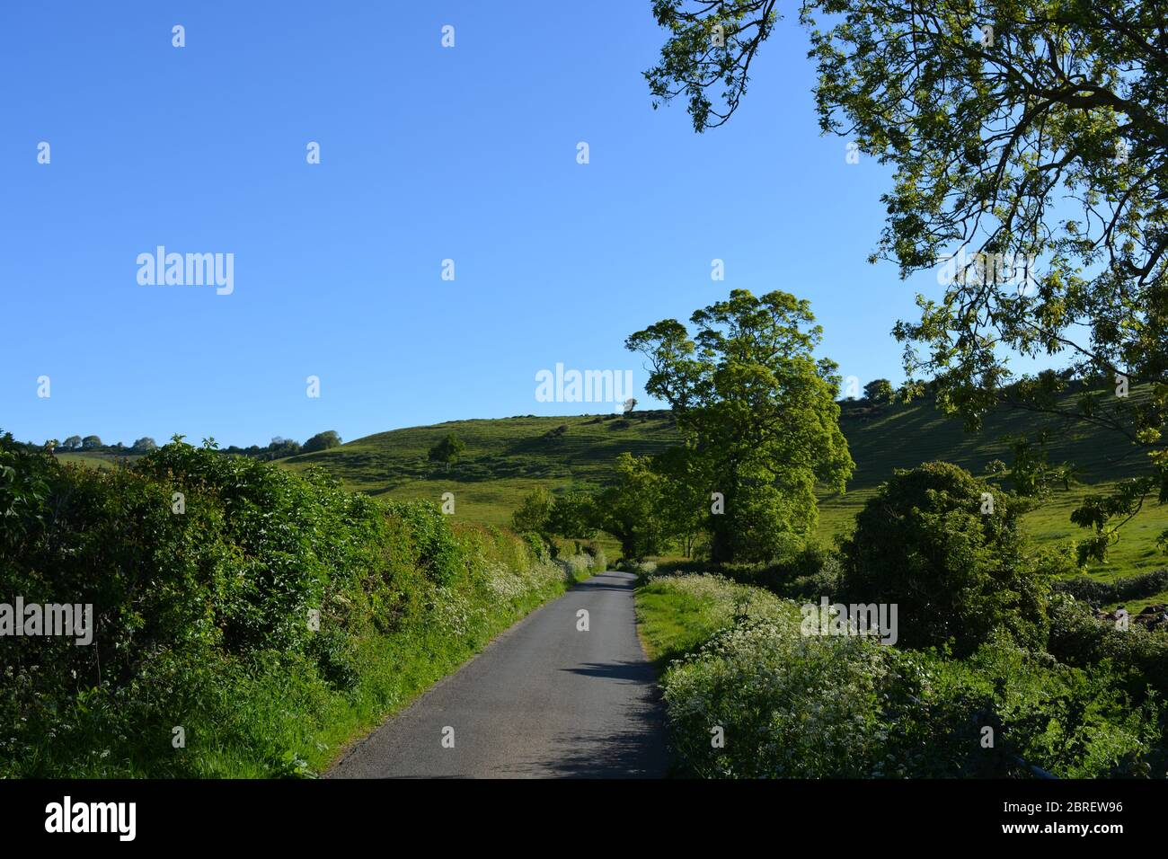 Typische schmale Landstraße mit KuhPetersilie, die im Frühsommer am Straßenrand zwischen Poyntington und Oborne in Dorset, England blüht. Stockfoto