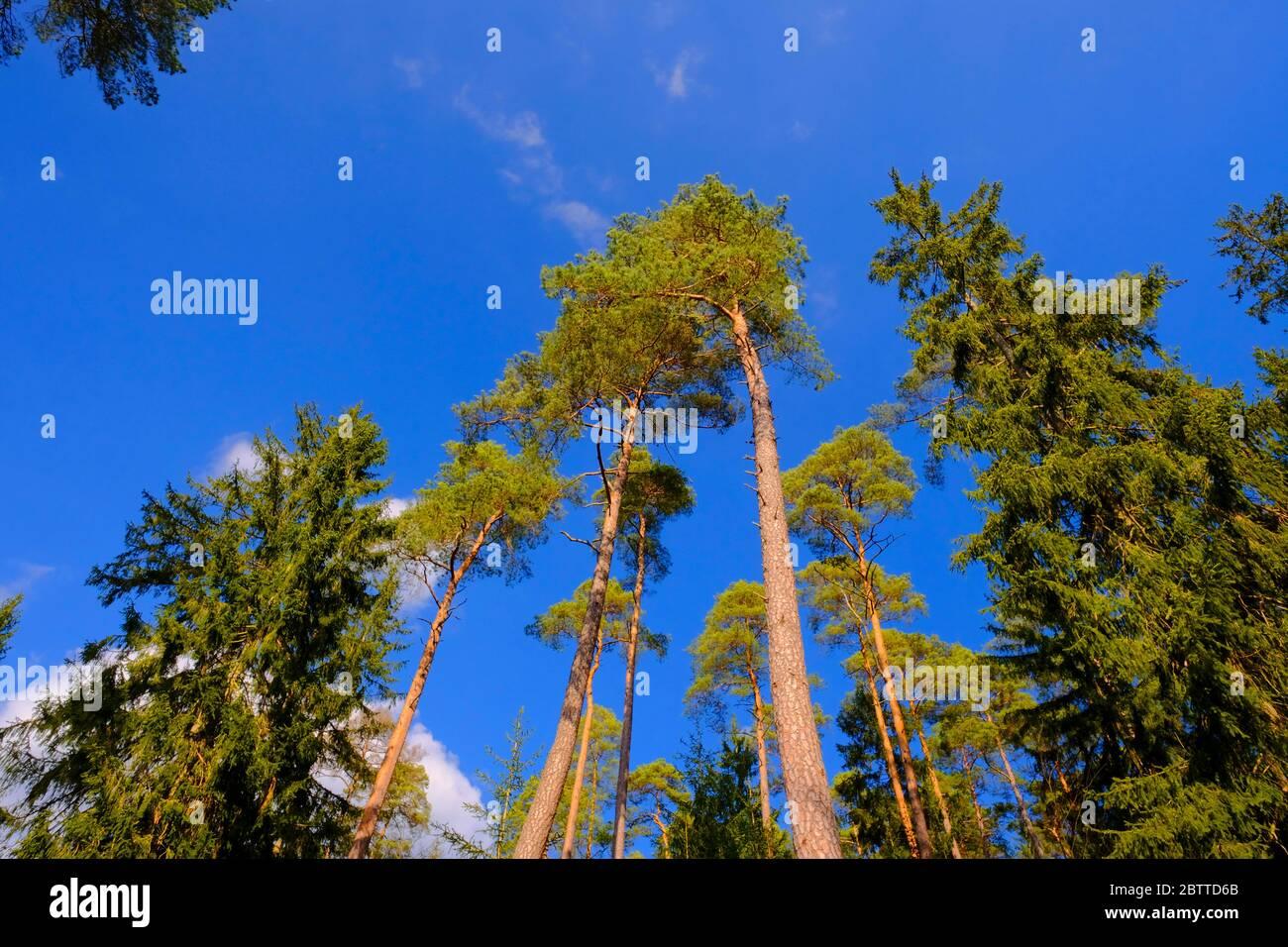 Nadelbäume im Wald Stockfoto