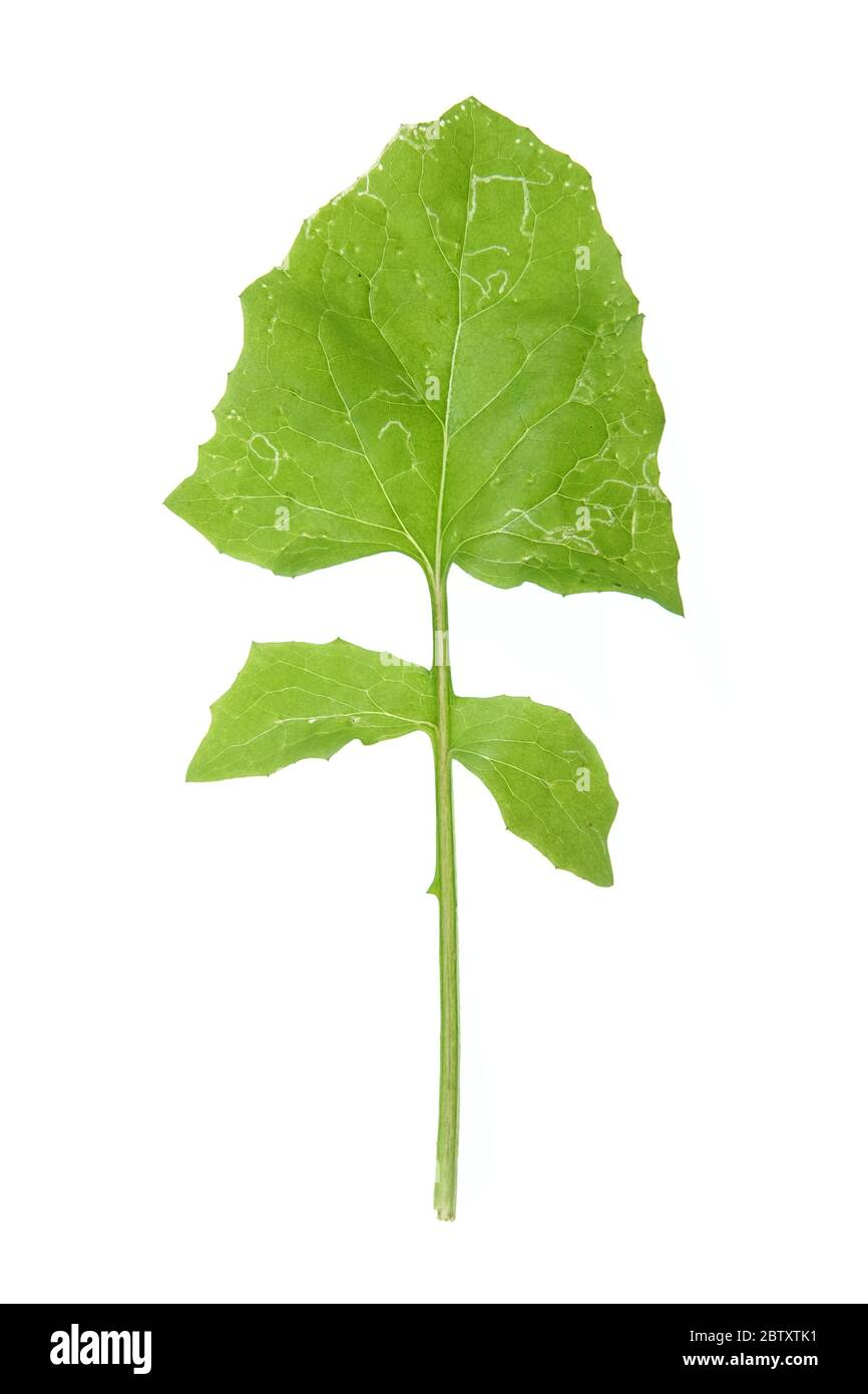 Lapsana communis (gemeine Nibelkraut) Blatt mit sichtbaren Blatt Bergmann Schäden Stockfoto