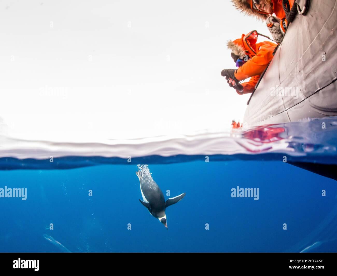 Gentoo-Pinguine (Pygoscelis papua), Unterwasser in klarem Wasser in Lindblad Cove, Trinity Peninsula, Antarktis, Polarregionen Stockfoto