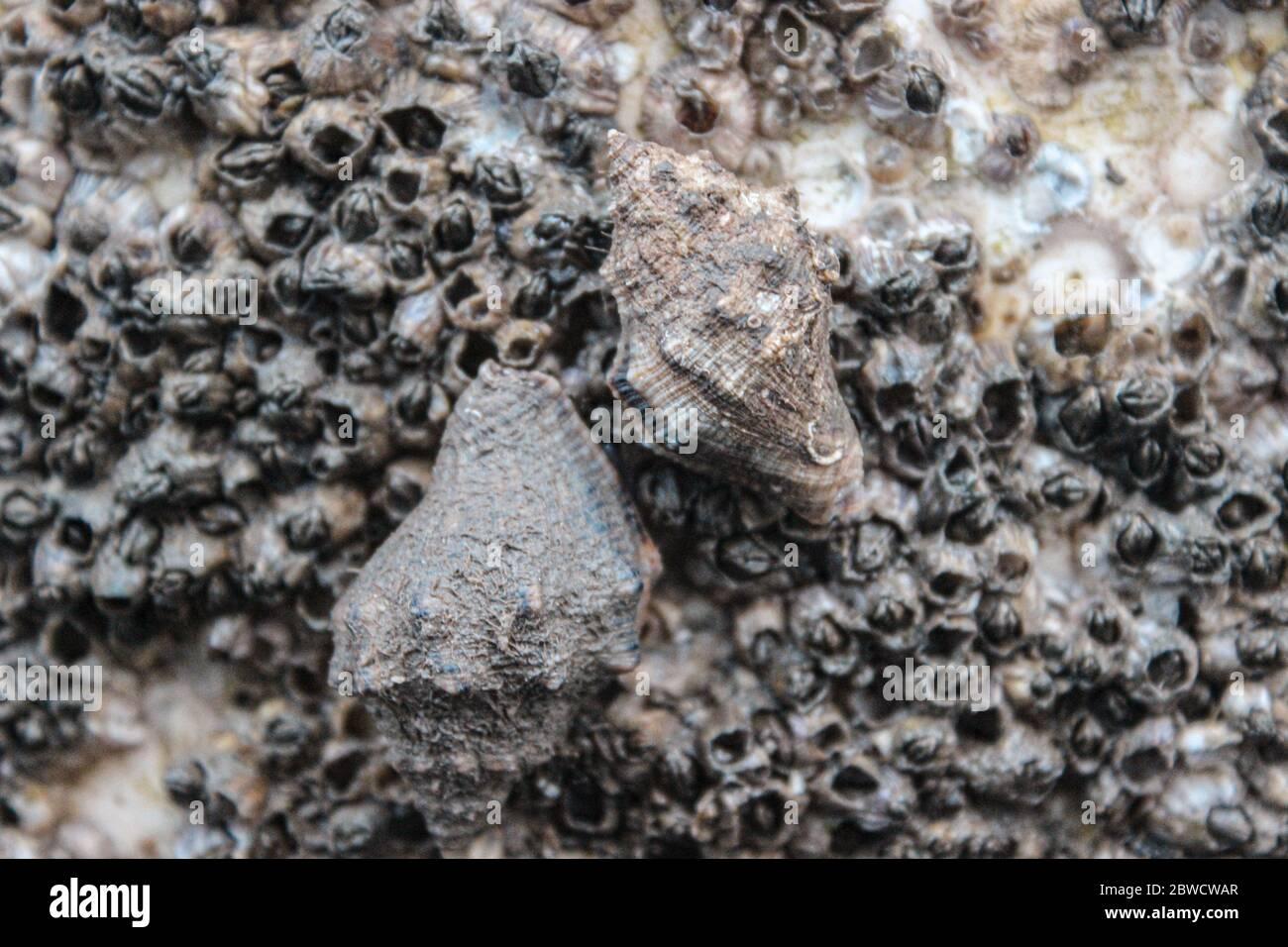 Zwei alte Schneckenschalen stecken auf einem Felsen voller Krebstiere Stockfoto