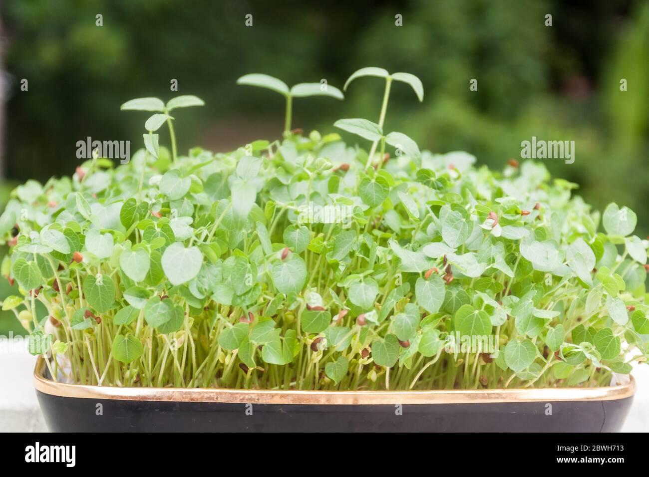 Micro Greens Konzept Hintergrund der Sprossen wachsen Stockfoto