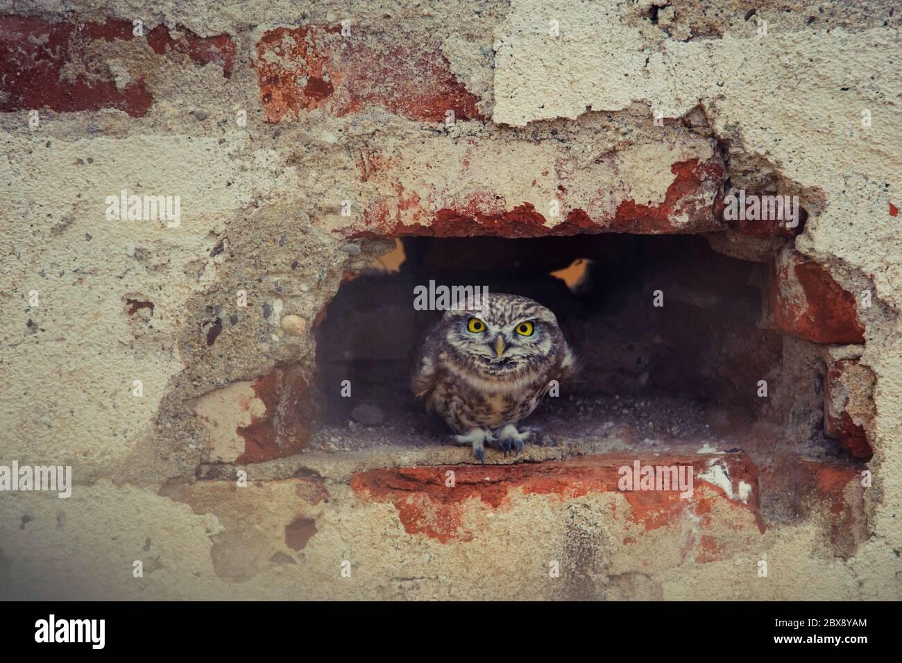 Die kleine Eule (Athene noctua), die aus einem Loch in einer Ziegelwand spähen. Stockfoto
