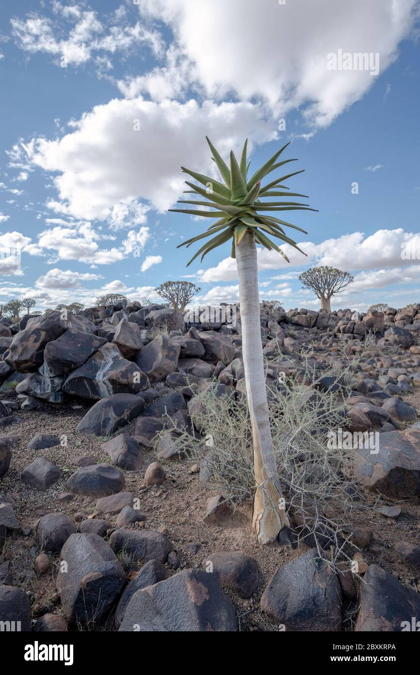 Junger Köcherbaum im Köcherbaumwald in Namibia Stockfoto