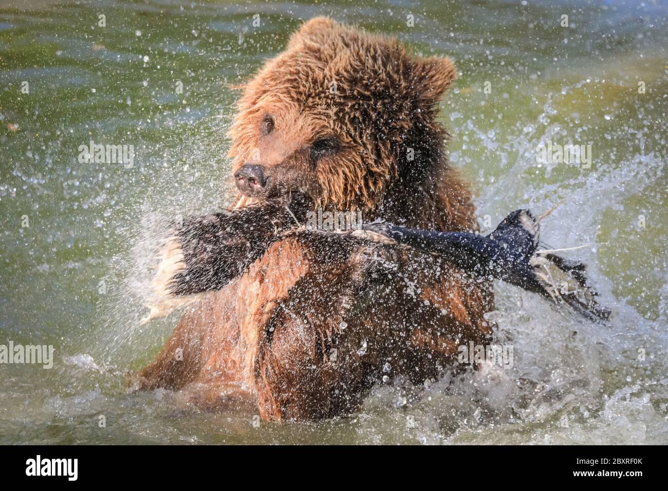 Eurasischer Braunbär Ursus arctos) Weibchen im ZSL Whipsnade Zoo genießt Baden und spritzt im Wasser, Großbritannien Stockfoto