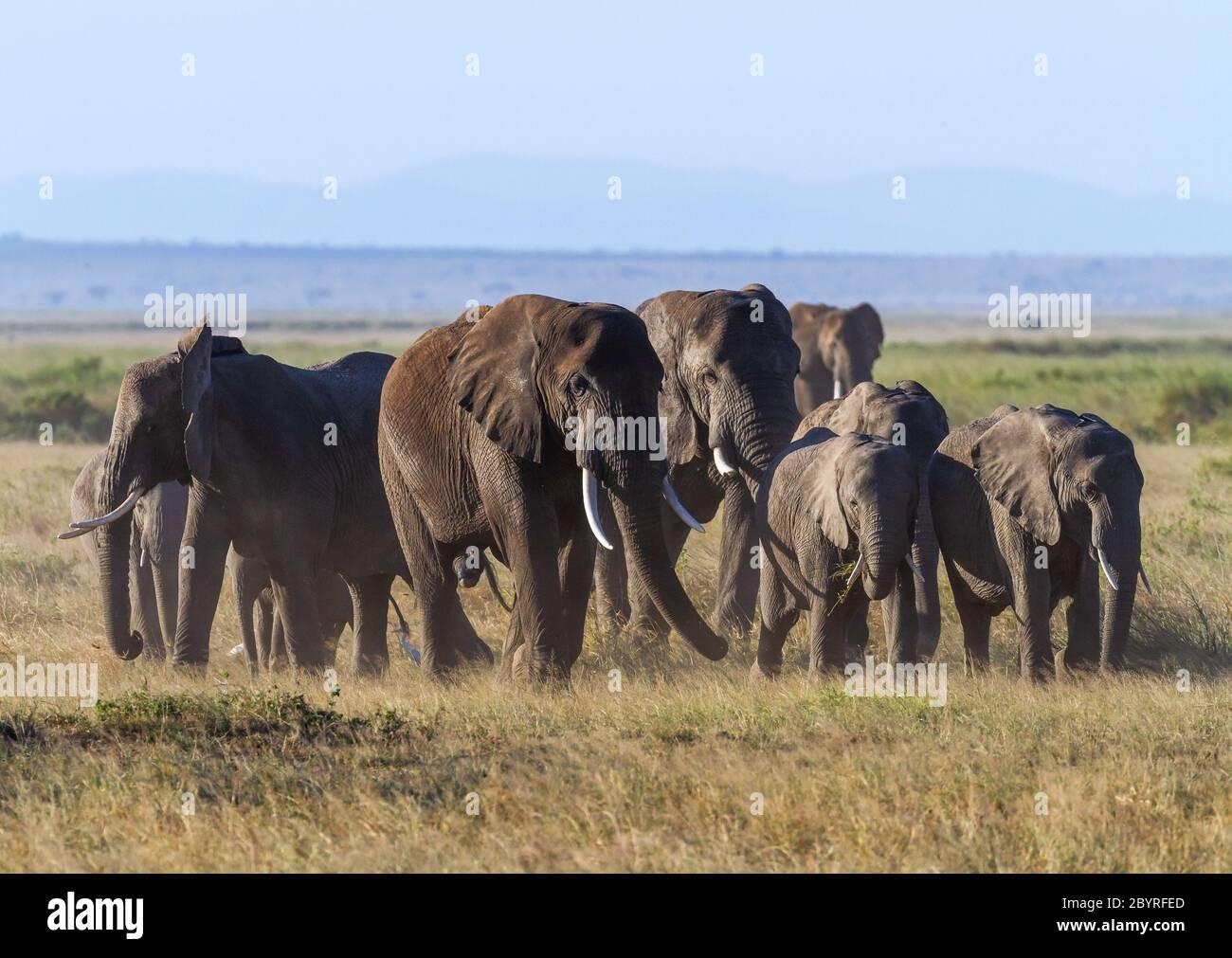 Afrikanische Elefantenherde auf staubiger afrikanischer Savanne, Gruppe von Erwachsenen und Kälbern dicht beieinander. Amboseli Nationalpark, Kenia, Afrika. 'Loxodonta Africana Stockfoto