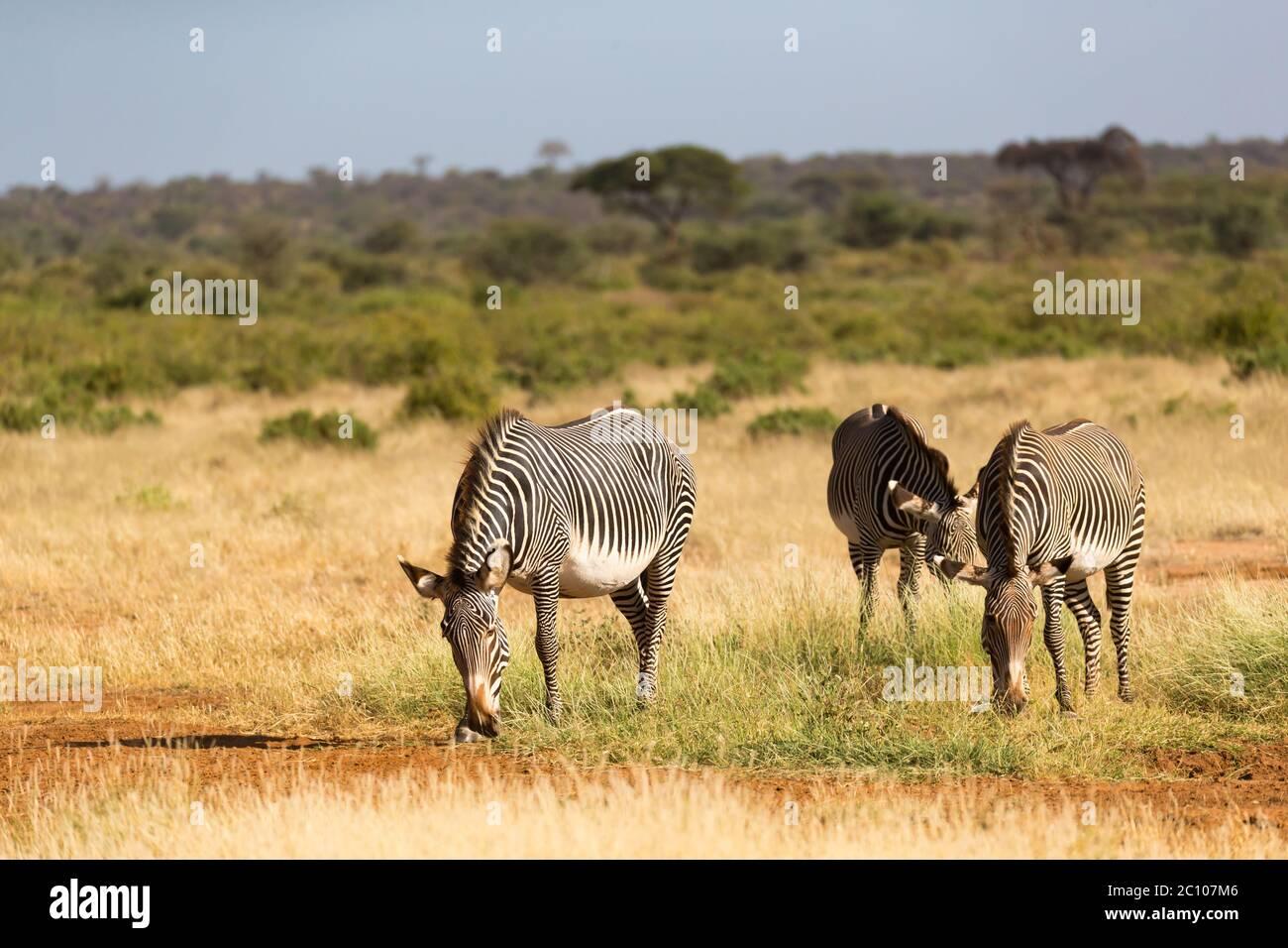 Die Zebrafamilie weidet in der Savanne Kenias in Samburu Stockfoto