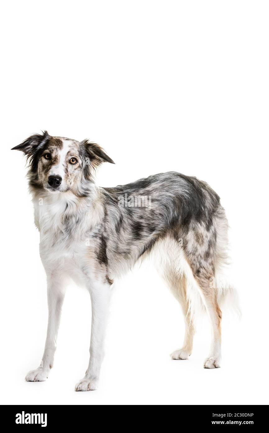 In voller Länge Porträt von Mischlingshund keuchend, während auf weißem Hintergrund sitzen Stockfoto