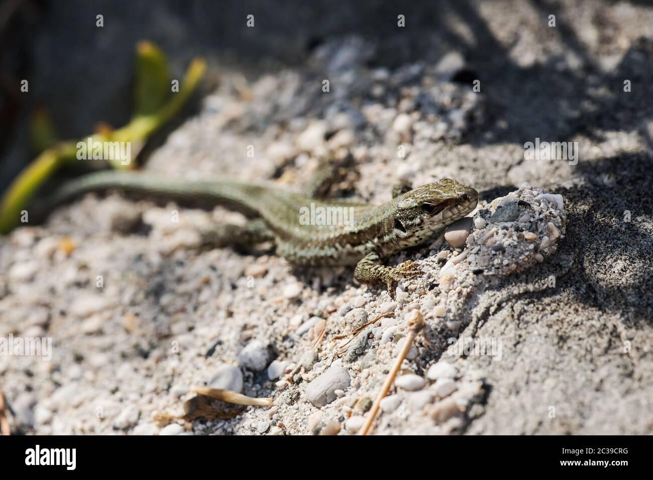 Makroaufnahme der Mauereidechse im Lebensraum. Ihr lateinischer Name ist Podarcis muralis. Stockfoto
