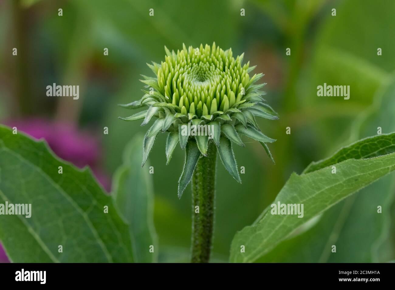 Nahaufnahme einer Konelblüte im Wachsen im Liliengarten Stockfoto