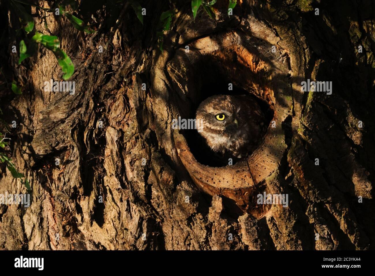 Kleine Eule / Minervas Eule / Steinkauz ( Athene noctua ) aus einer Baumhöhle im ersten Morgenlicht beobachten, sieht niedlich aus, Tierwelt, Europa. Stockfoto