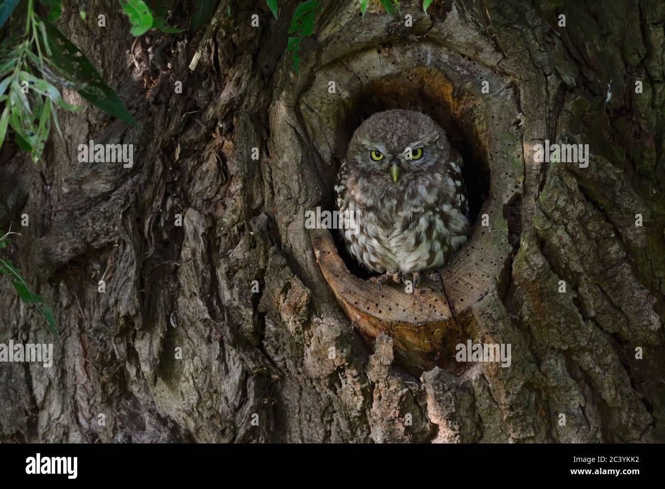 Kleine Eule / Minervas Eule ( Athene noctua ) thront, sitzt in einer natürlichen Baumhöhle, sieht ernst, Tierwelt, Europa. Stockfoto