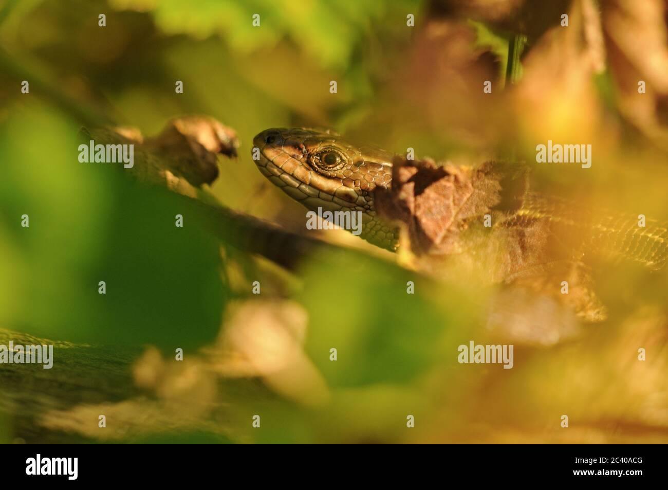 Lebhafter Eidechse oder gemeine Eidechse, Zootoca vivipara, versteckt im Laub, Norfolk, August Stockfoto
