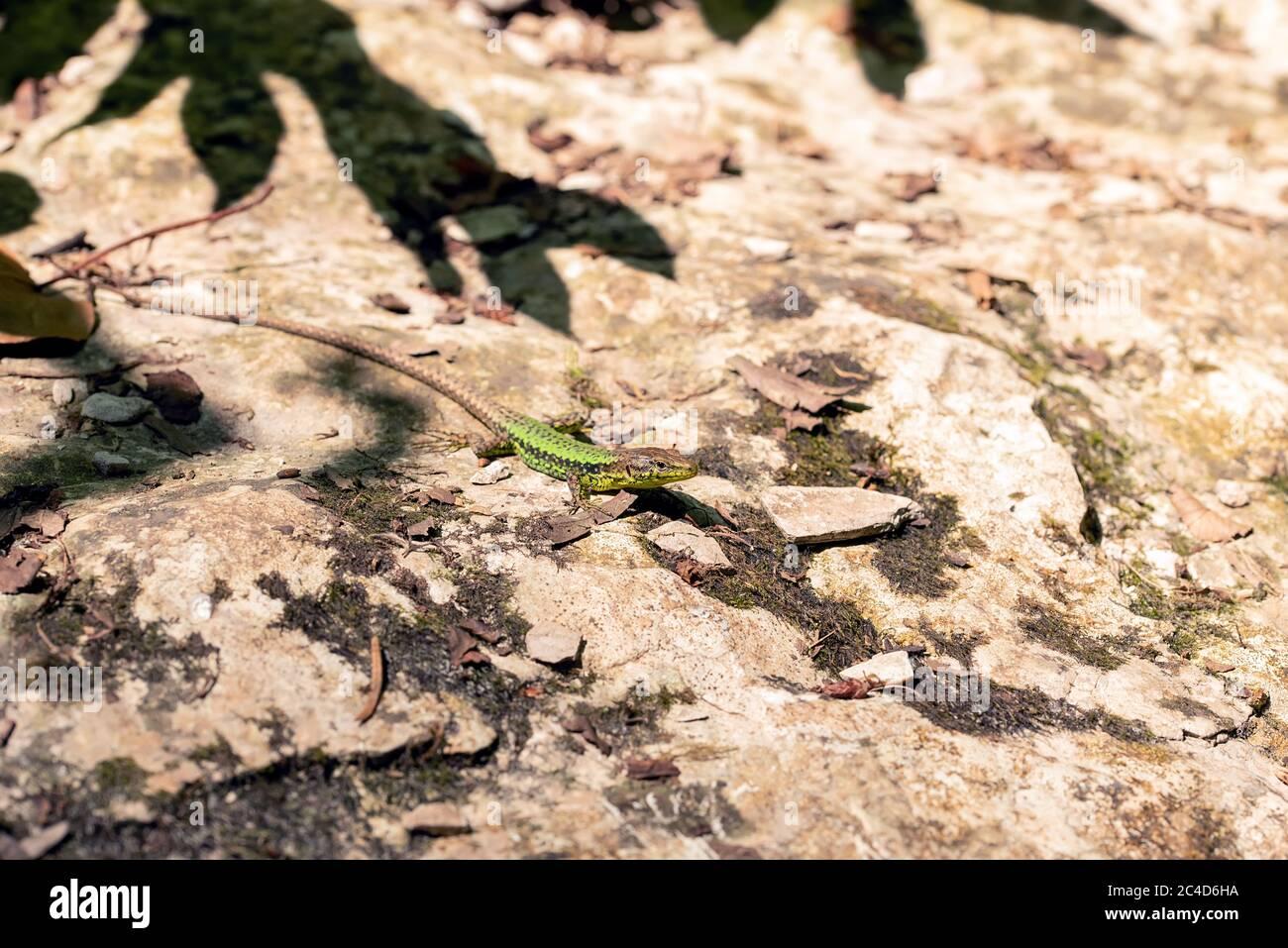 Nahaufnahme einer kleinen grünen Eidechse auf dem sonnigen Sandboden Stockfoto