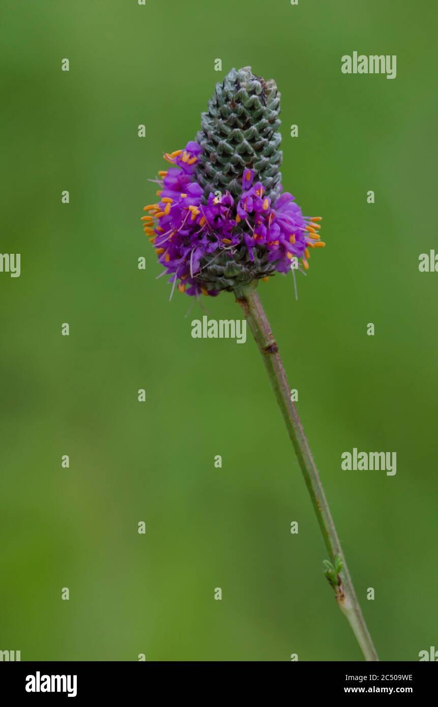 Purple Prairie Clover, Dalea purea Stockfoto