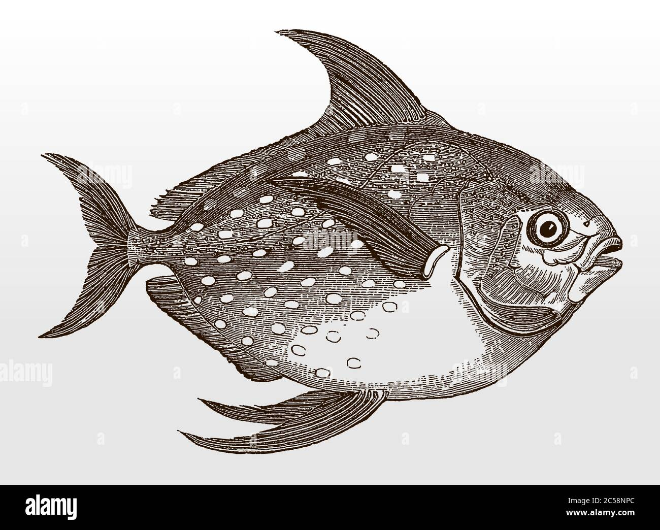 Opah, Lampris gutatus, ein weltweit verbreiteter Meeresfisch in Seitenansicht nach einer antiken Illustration aus dem 19. Jahrhundert Stock Vektor