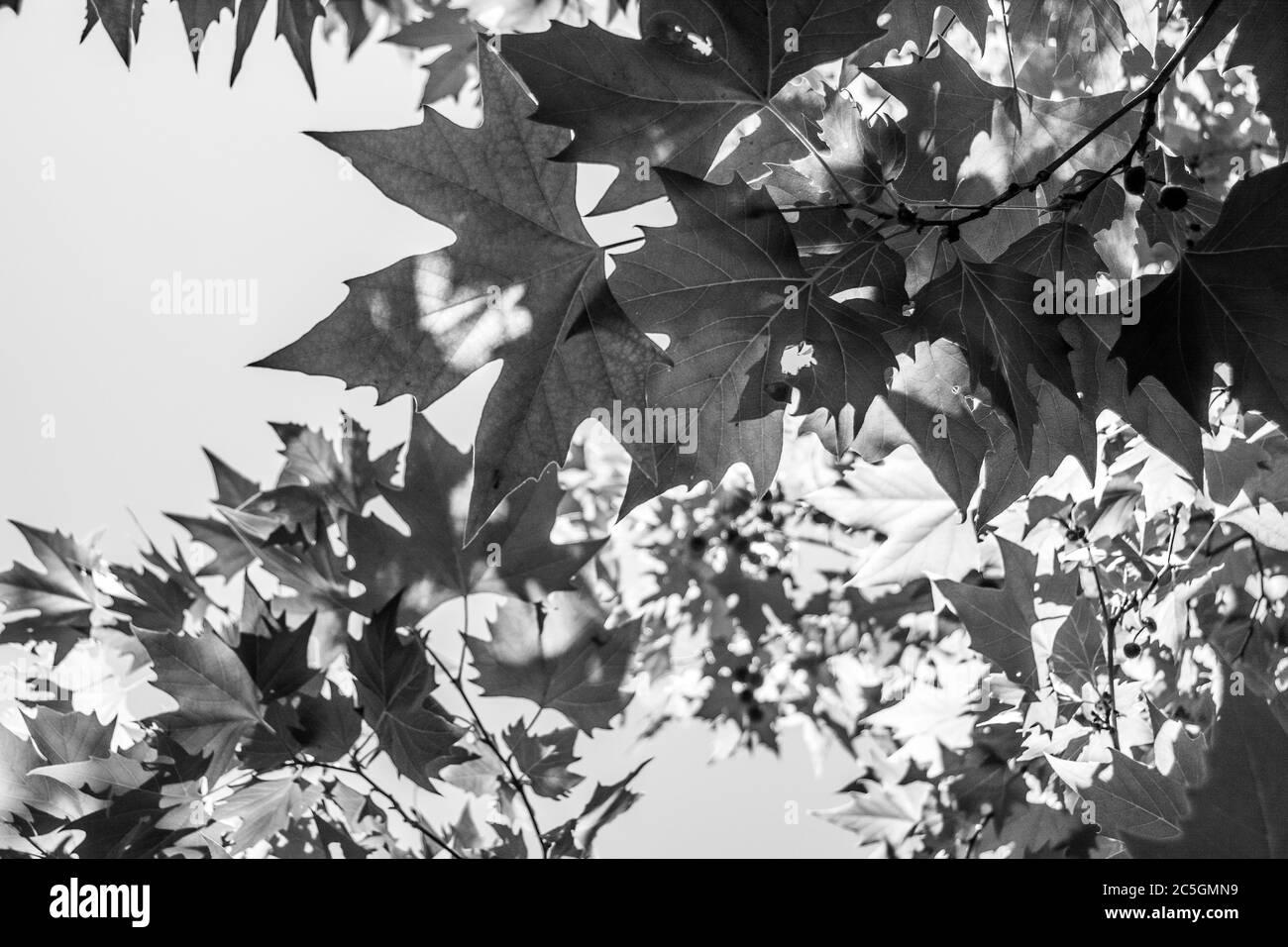 Ein Bild von Blättern aus einem Baum, der vom Boden aus aufgenommen wurde. Stockfoto
