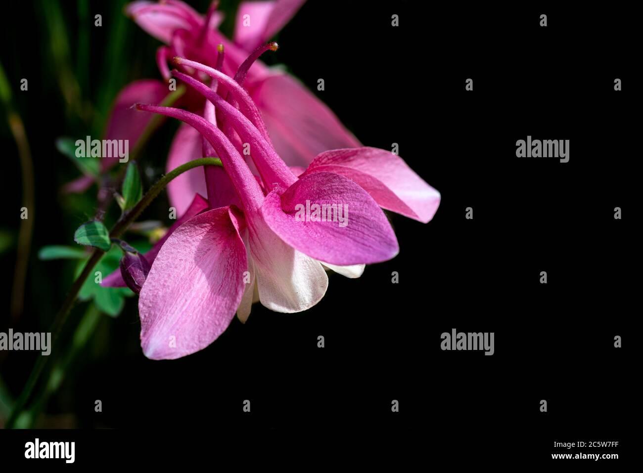 Aquilegia Frühling Magic Rose und Weiß, Frühling magische Serie, Ranunculaceae, aquilegia Stockfoto