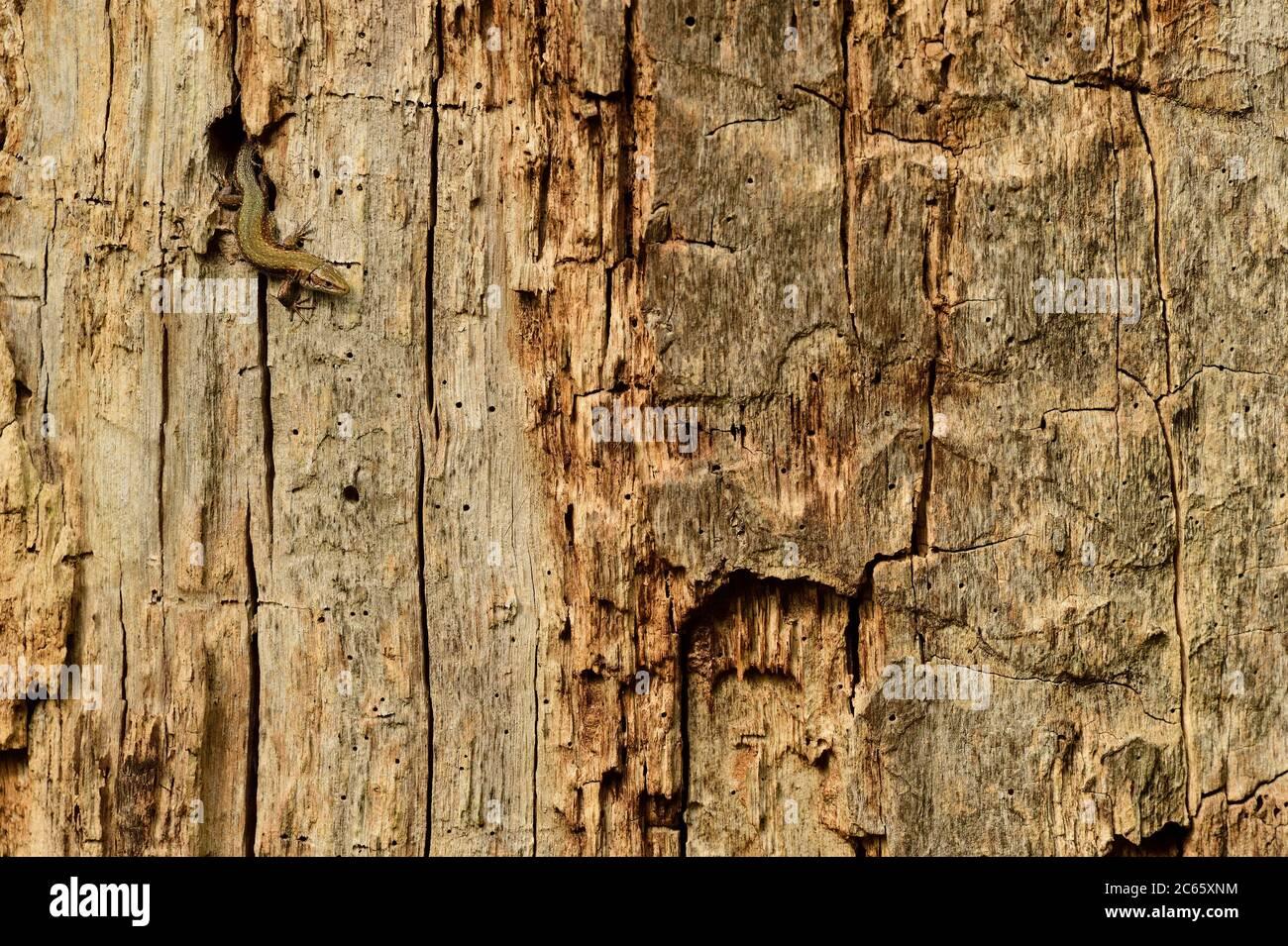 Tiereidechse (Zootoca vivipara) auf der Jagd nach Insekten in Eichenholfen, Biosphärenreservat Niedersächsische Elbtalaue, Niedersachsen, Deutschland Stockfoto