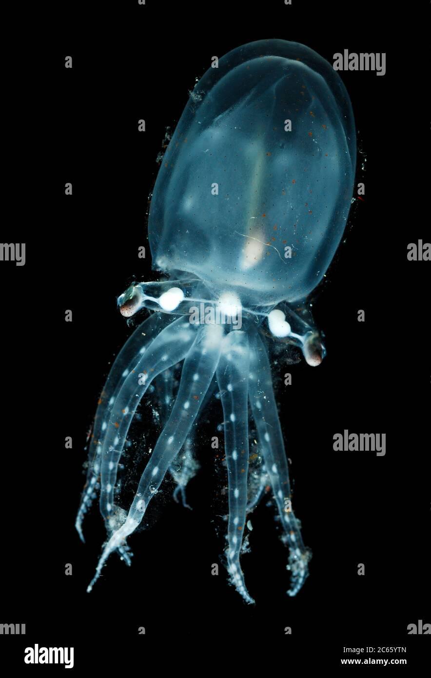 Pelagische Oktopode (Vitreledonella richardi) . Sie hat eine kosmopolitische Verbreitung in tropischen und subtropischen Gewässern, wo sie in meso- bis bathypelagischen Tiefen lebt. Der Körper ist gallertartig, transparent und fast farblos. Die eigentümliche lange, schmale Form und Position der Verdauungsdrüse ist im Titelbild zu sehen. Der Magen und Zecum, im Gegensatz zu den meisten anderen Oktopoden, ist angeblich vor der Verdauungsdrüse. [Größe des einzelnen Organismus: 7 cm] (Octopoda) Stockfoto