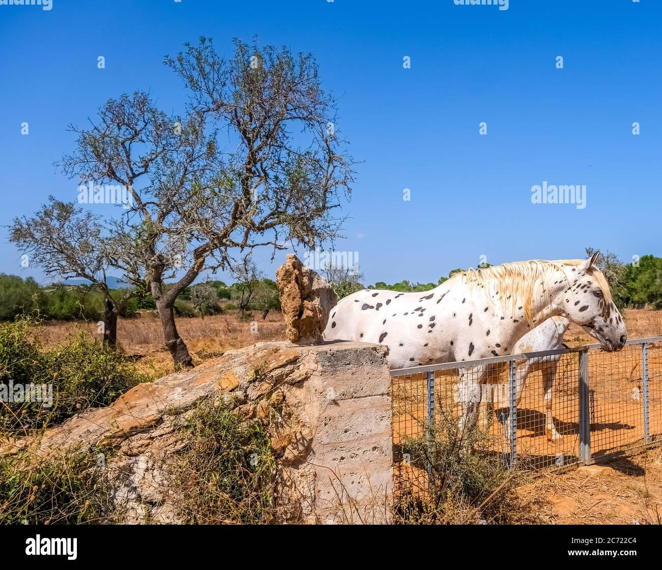 Apfelgrau, Pferd ähnlich Pippi Langstrumpf (mit vollem Namen Pippilotta Viktualia Rollgardina Peppermint Efraim's Tochter Langstrumpf), auf eine Vergangenheit Stockfoto