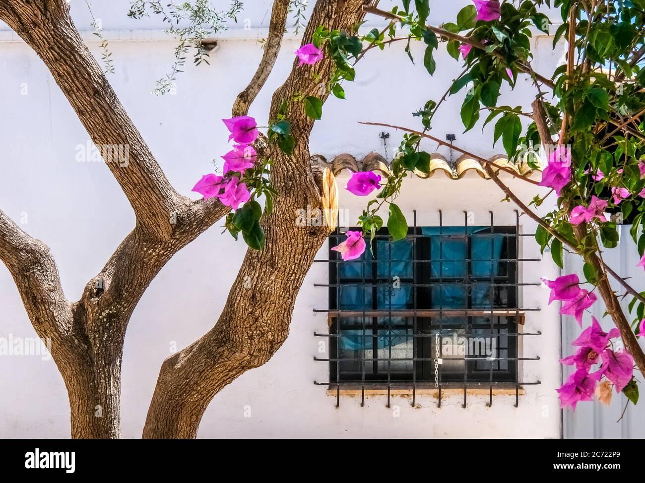Olivenbaum und blühende Bougavilla in einem Hinterhof im Ferienort Cala d'Or an der Südostküste von Mallorca. Fenster mit Fenstersperre, Santanyí, Europa Stockfoto