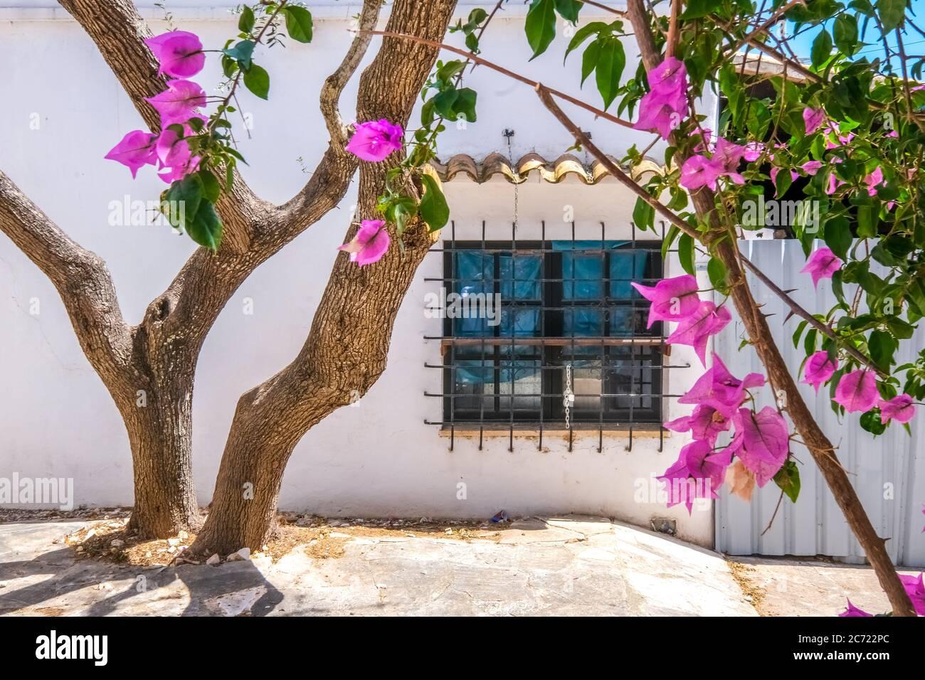 , , Olivenbaum und blühende Bougavilla in einem Hinterhof im Ferienort Cala d'Or an der Südostküste von Mallorca. Fenster mit Fenstersperre, Santanyí, EU Stockfoto