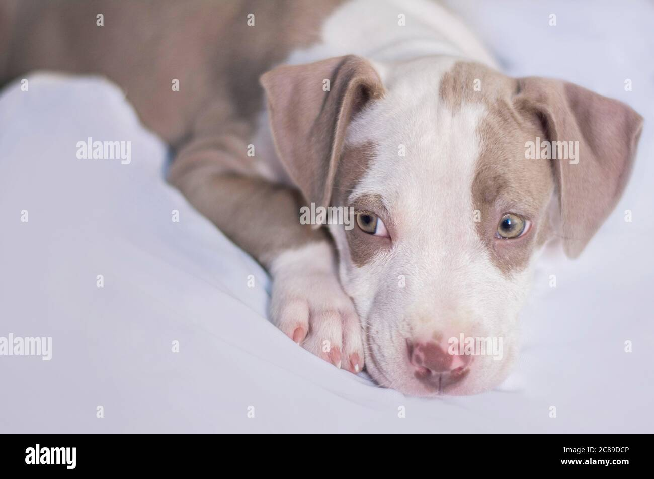 Pitbull Hunde Stockfotos Und Bilder Kaufen Alamy