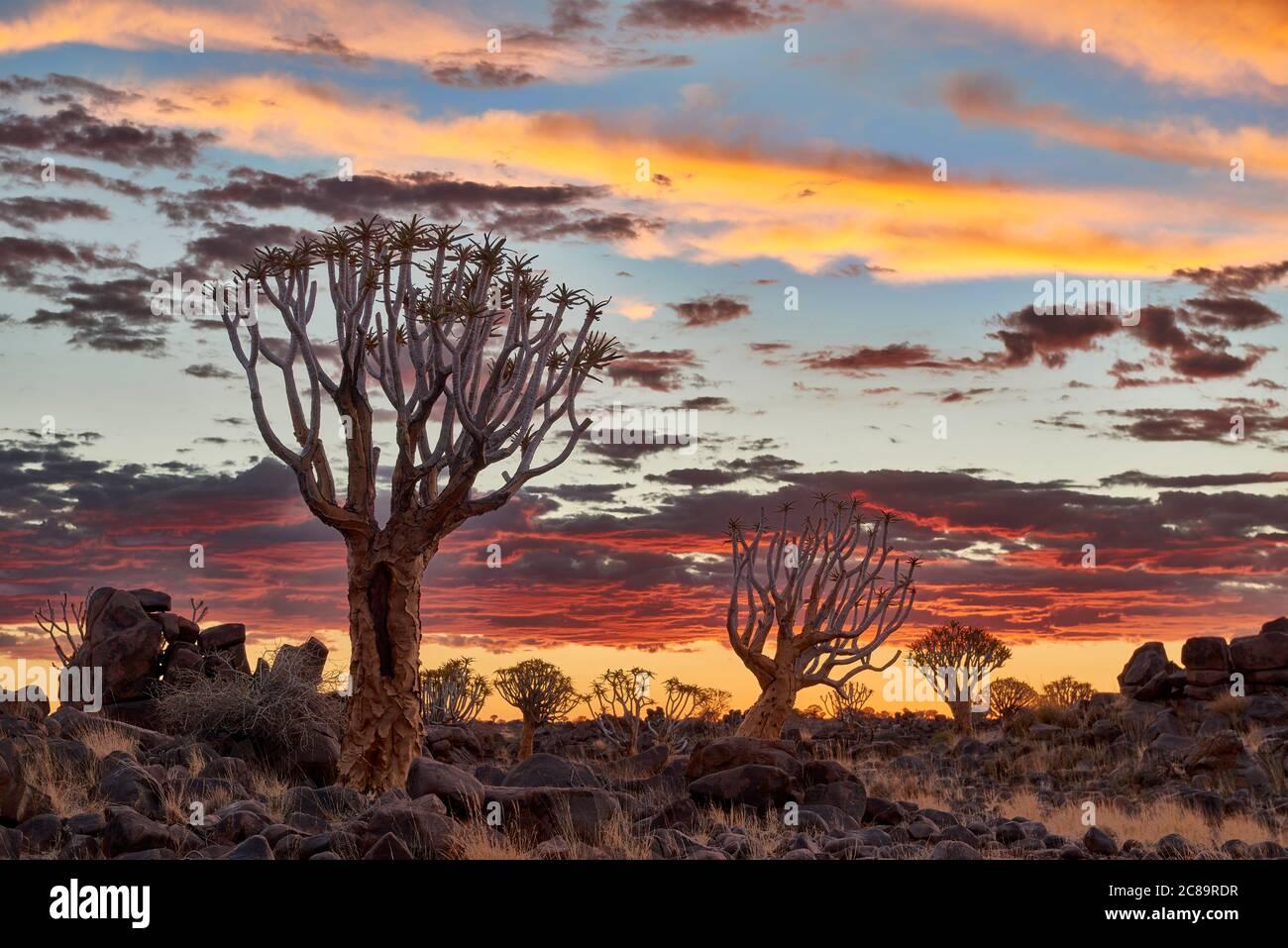 Sonnenuntergang im Köcherbaumwald, Aloe dichotoma, Bauernhof Garas, mesosaurus Fossil Site, Keetmanshoop, Namibia, Afrika Stockfoto
